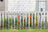 'Sconset Home and Fence with Poppys_0624 (CH)