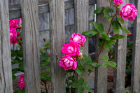 Roses and Fence_3850 (CH)