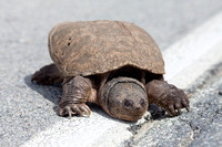 Snapping Turtle (CH)