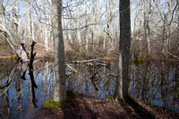 Spring and trees in Squam Swamp (CH)